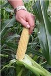 Сахарная кукуруза СВИТ НАГГЕТ F1