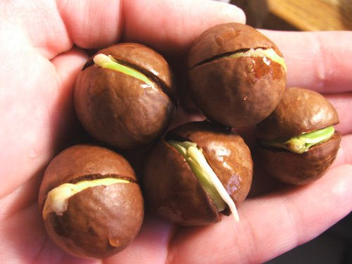 Как растет грецкий орех в домашних условиях