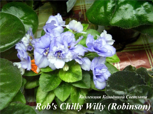 Rob's Chilly Willy (Robinson)