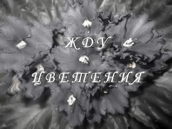 Стрептокарпус DS-It's a Boy (фрагмент листа)