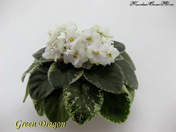 Фиалка Green Dragon (пара листьев)