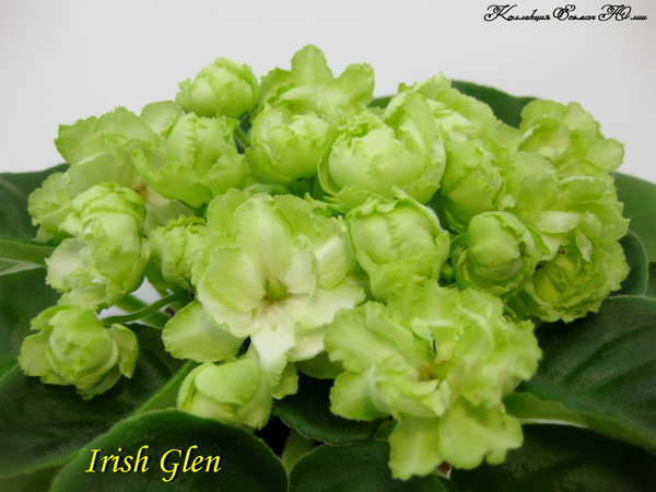 Фиалка Irish Glen (пара листьев)