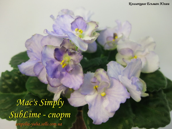 Фиалка Mac's Simply SubLime (пара листьев)