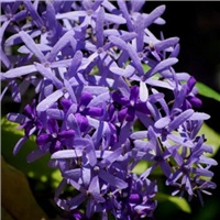 Петрея вьющаяся, Petrea volubilis, Queen's wreath 1