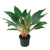 Хлорофитум орхидаструм Грин Ориндж, Chlorophytum orchidastrum Green Orange