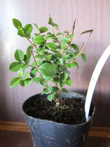 Мирт Лума, Myrtus Luma Orange bark myrtle Sent
