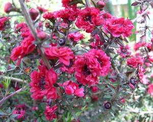 "Лептоспермум ""Красный Дамаск"",LEPTOSPERMUM ""RED DAMASK"""